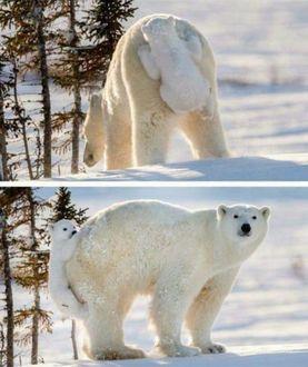 Фото Белый медведь со своим детенышем на снегу