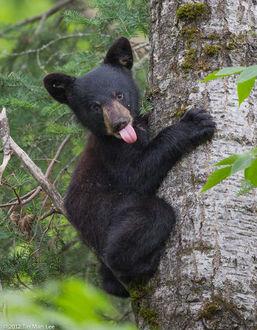 Фото Бурый медвежонок залез на дерево, byTin Man