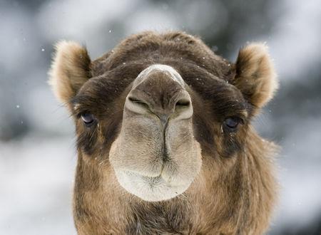 Фото Мордочка верблюда крупным планом