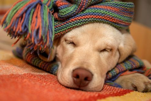 Фото Спящая собака, укутанная шарфом, фотограф Алексей Яковлев