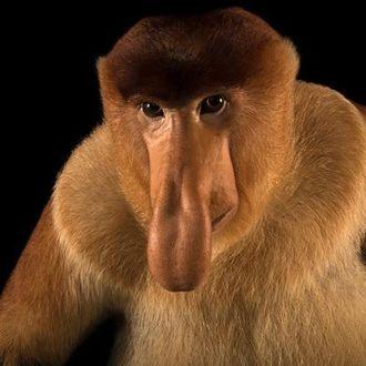 Фото Коричневая обезьяна носач на черном фоне