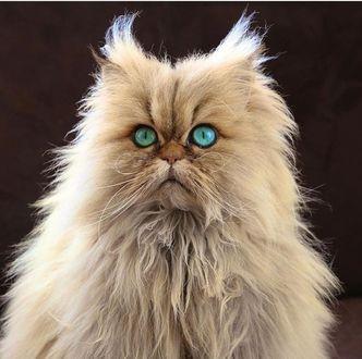 Фото Прикольный пушистый кот с яркими бирюзовыми глазами на коричневом фоне