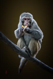 Фото Rhesus macaque, Macaca mulatta / Макака-резус, мaкaкa мулатка, фотограф Jean-Claude Sch