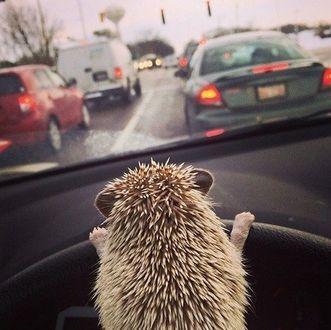 Фото Ежик за рулем машины