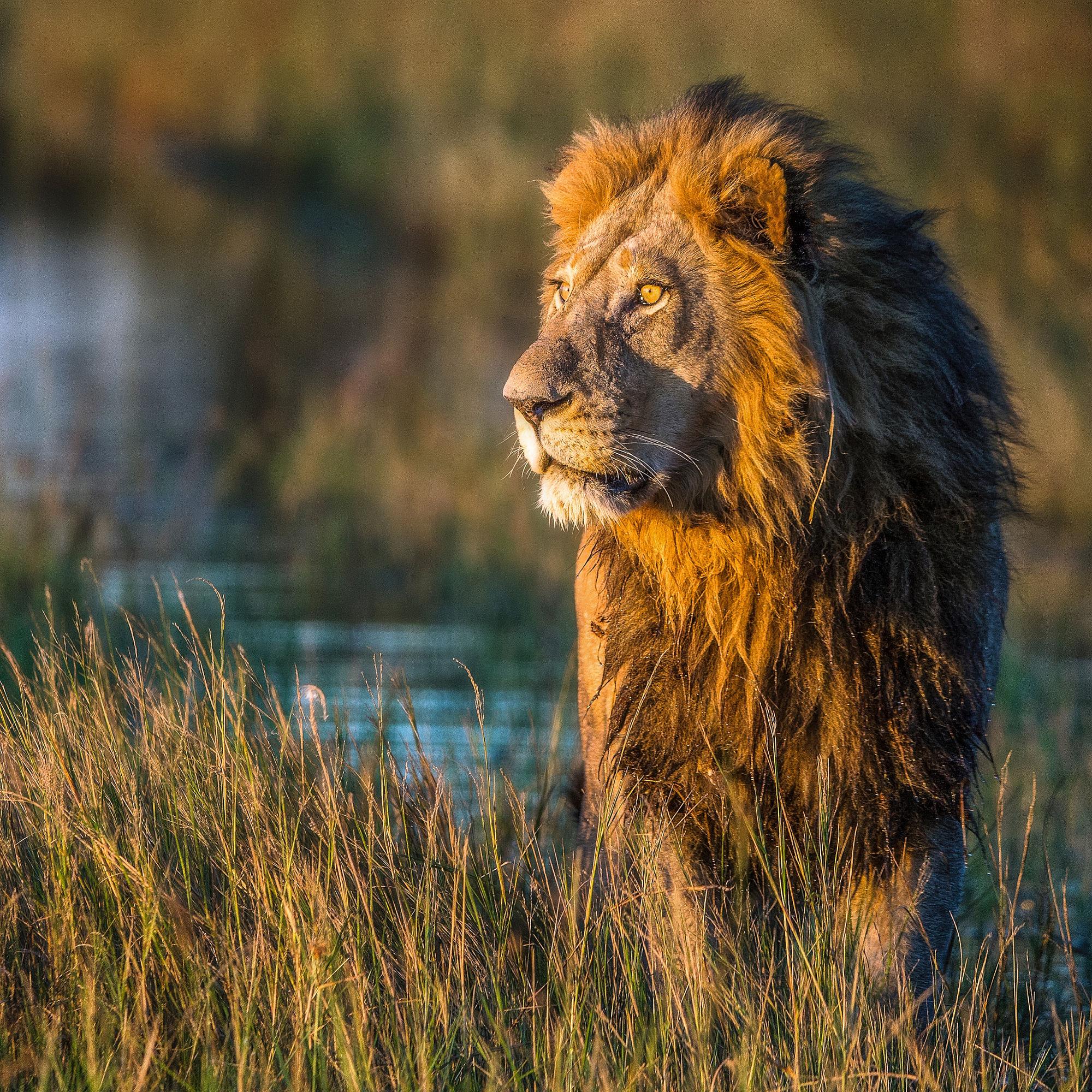 поэтому хорошая картинка льва уверенно