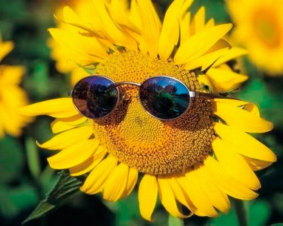 Фото Цветок подсолнуха в противосолнечных очках. на размытом фоне цветов и листьев