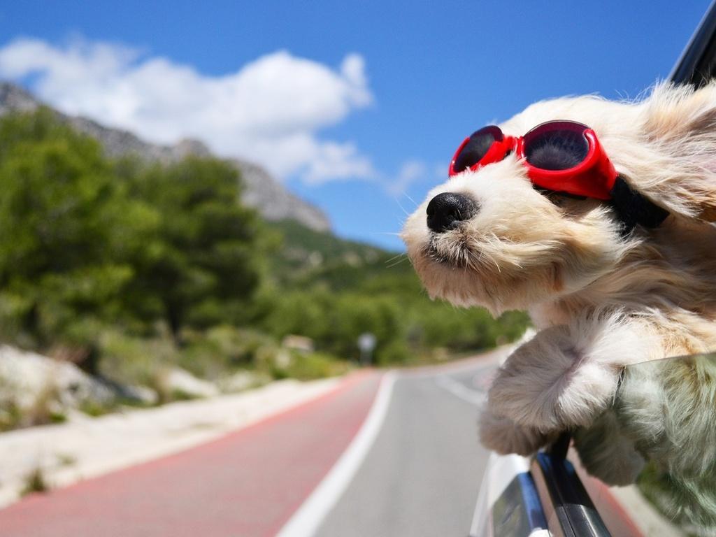 Фото Белый пес в красных противосолнечных очках спасается от жары, высунув морду из открытого окна машины, на размытом фоне шоссе, деревьев и неба