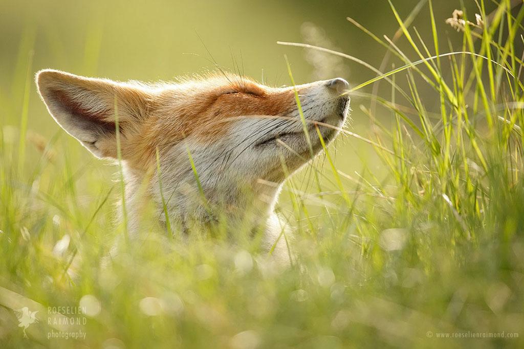 Фото Лисичка наслаждается теплым летним днем, лежа в траве, by thrumyeye