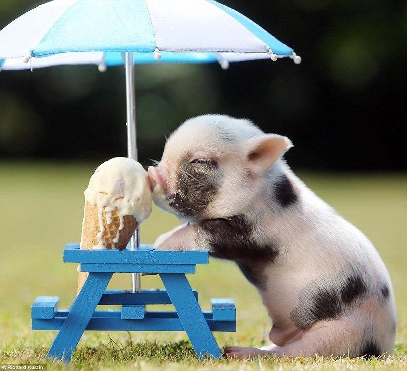 Фото Пятнистый поросенок сидит на траве у столика и кушает мороженое