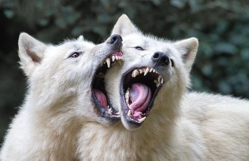 стрече звёздным белый волк фото рычит обратите внимание