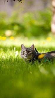 Фото Кот блуждает по поляне одуванчиков