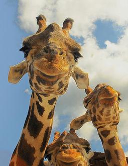 Фото Три жирафа, на фоне облаков, любопытно смотрят в объектив, by ucumari