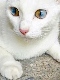 Фото Счастливая кошка с двухцветными глазами