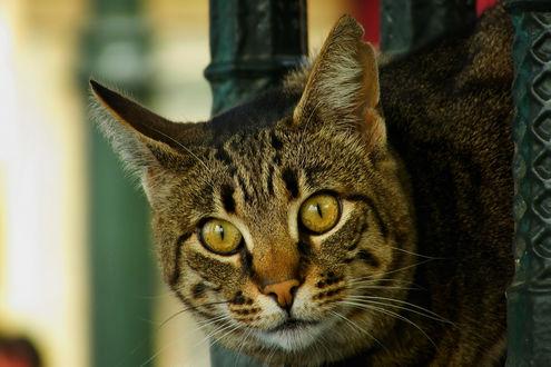 Фото Серый кот смотрит на нас, by ErkanKalenderli