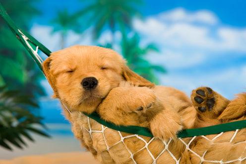 Фото Щенок золотистого ретривера спит в гамаке на фоне пальм