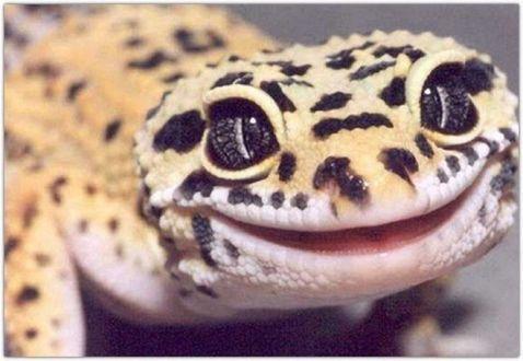 Фото Геккон улыбается вам