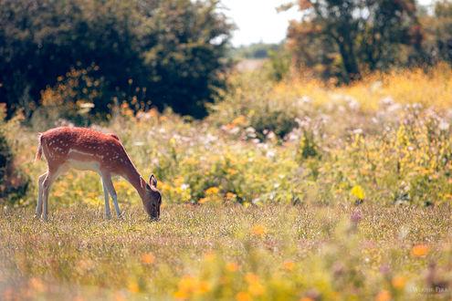 Фото Олень щиплет травку на летнем лугу, by WouterPera