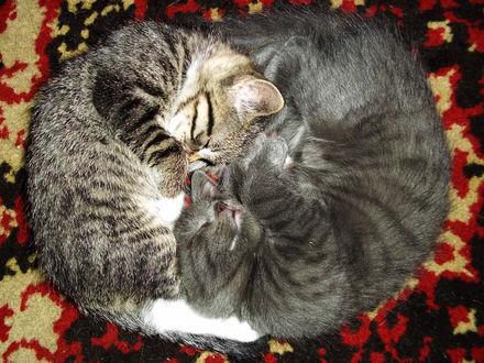 Фото Кошки спят в позе, напоминающий символы Инь и Янь