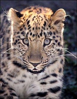 Фото Дальневосточный леопард, by woxys