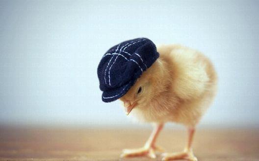 Фото Маленький желтый цыпленок в картузе