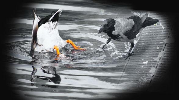 Фото Ворона недоуменно смотрит на утку, которая вдруг решила нырнуть в неглубокую лужу, работа Опа! фотографа H-7-B