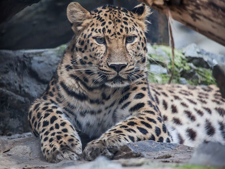Фото Леопард лежит на камнях, фотограф Владимир Габов