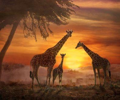 Фото Стая жирафов встречает восход солнца