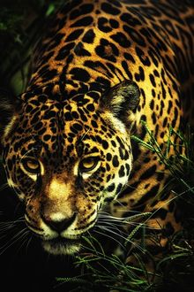 Фото Леопард в траве