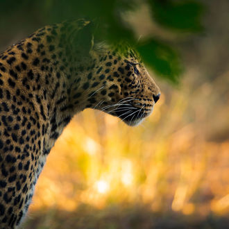 Фото Леопард стоит за веткой, фотограф Chris Fischer