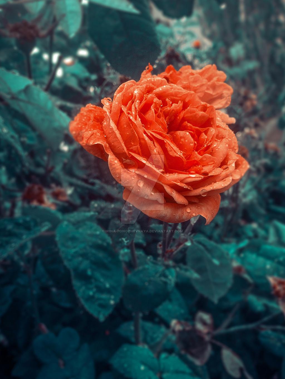 Фото Оранжевая роза после дождя, by Irina-Ponochevnaya