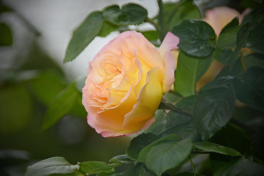 Фото Бутон желто-розовой розы среди зеленых листьев, by Placi1