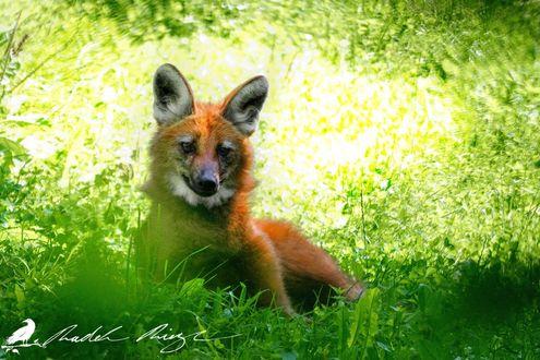 ���� ������ I am wolf, no fox / � �� ������� ����, �� ����, by PhotoDragonBird