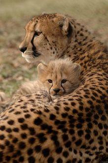 Фото Гепард со своим детенышем