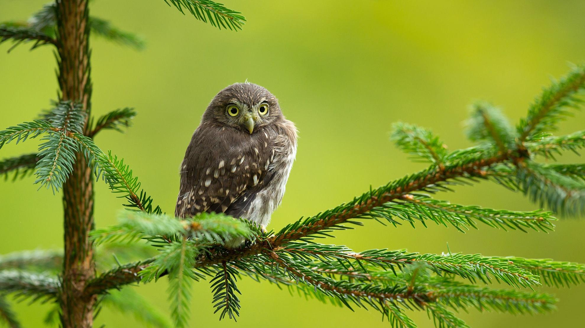 Фото Сова сидит на елочной ветке, фотограф Milan Zygmunt
