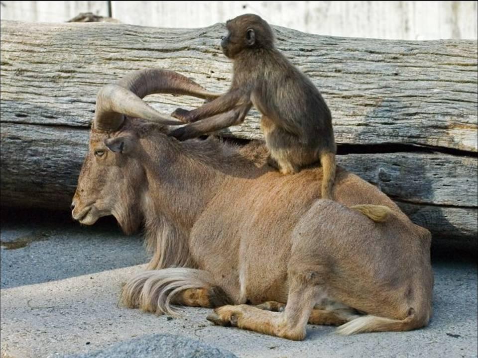 Фото Обезьяна оседлала горного козла