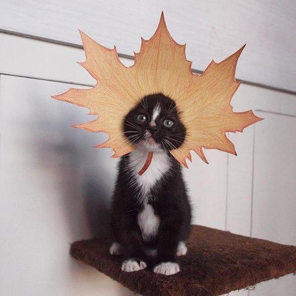 Фото Котенок сидит на кошачей подставке, на голове у него надет осенний кленовый лист из бумаги,