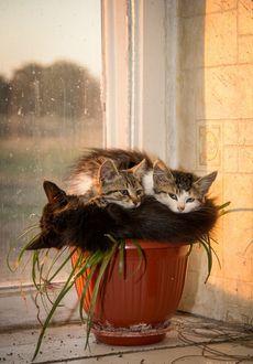 Фото Три кошки спят нв цветочном горшке, фотограф Владимир Гусаров