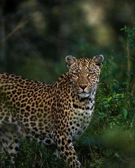Фото Леопард на природе, фотограф Chris Fischer