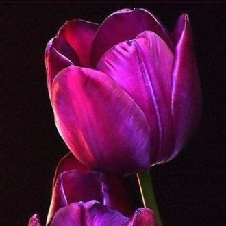 Тюльпаны на черном фоне фото