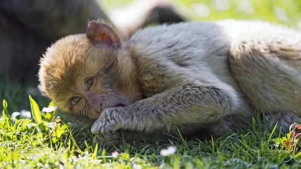 Фото Обезьяна лежит на траве