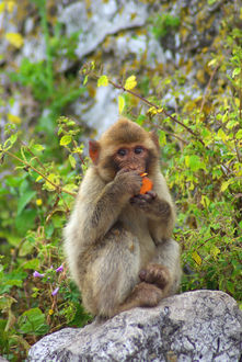 Фото Обезьяна сидит на камне и с аппетитом поедает какой - то фрукт