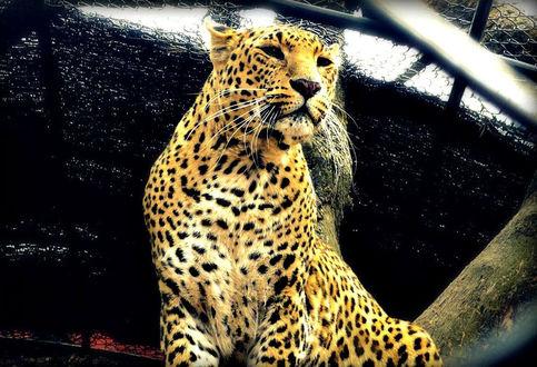 Фото Леопард куда-то смотрит, фотограф Anuma S. Bhattarai