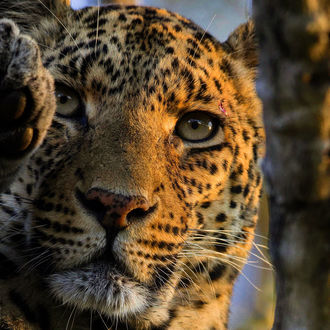Фото Леопард с серыми глазами, фотограф Chris Fischer