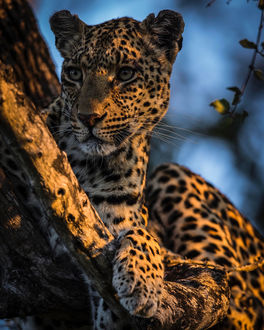 Фото Леопард на дереве, фотограф Chris Fischer