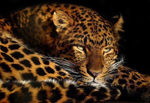 Фото Леопард на черном фоне