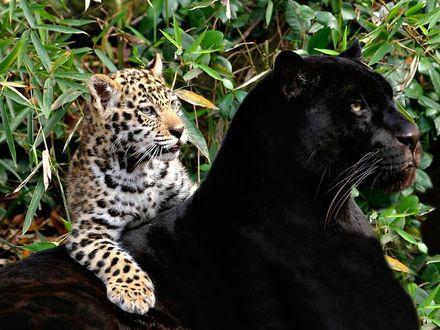 Фото Черная пантера и леопард в лесу