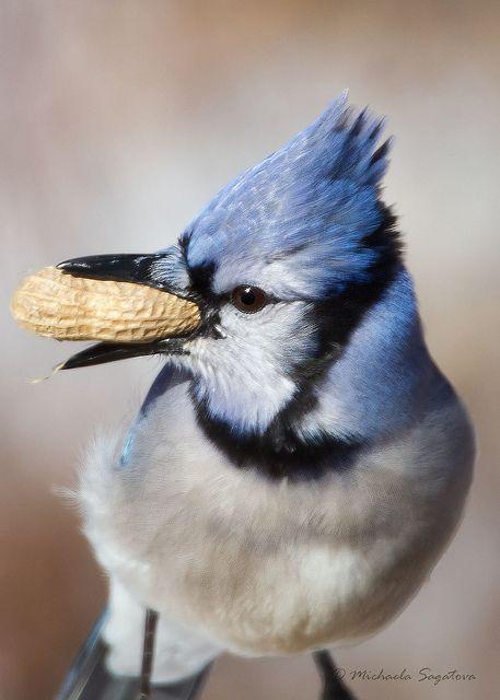 Фото Голубая сойка ест арахис, фотограф Michaela Sagatora