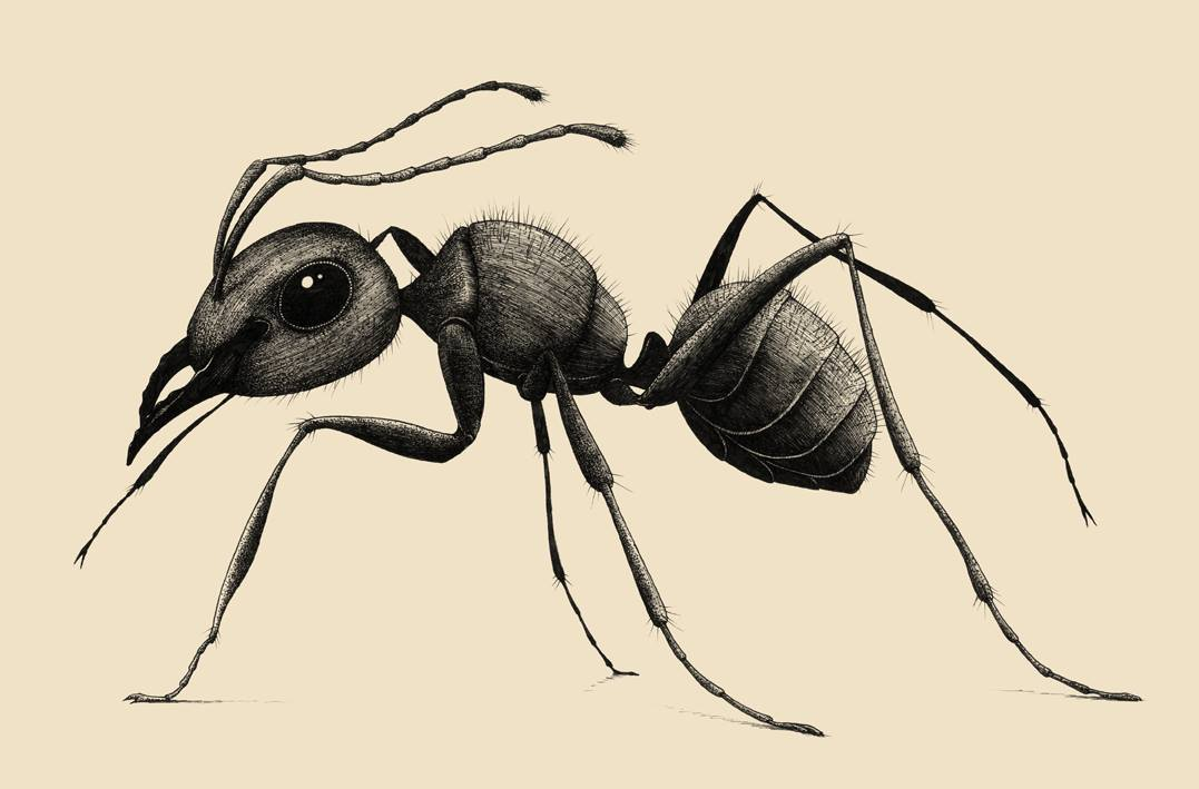 Черно белые картинки муравья