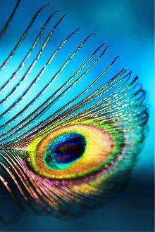 Фото Цветное перо павлина