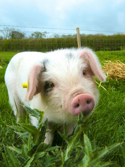 Фото Розовый поросенок среди зеленой травы
